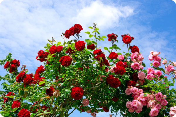 Red and pink climbing roses